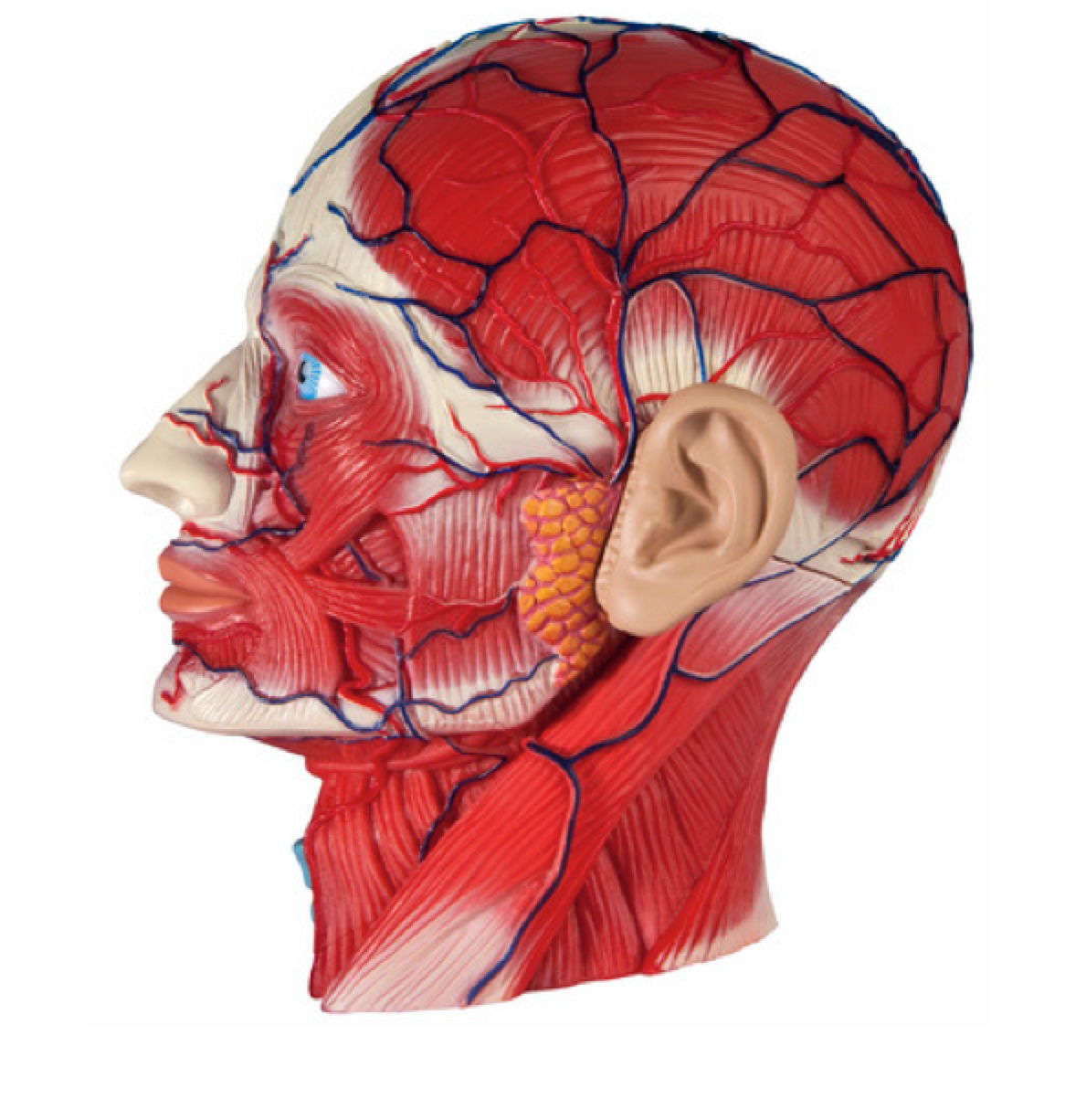 ANATOMY OF THE HEAD AND FACE
